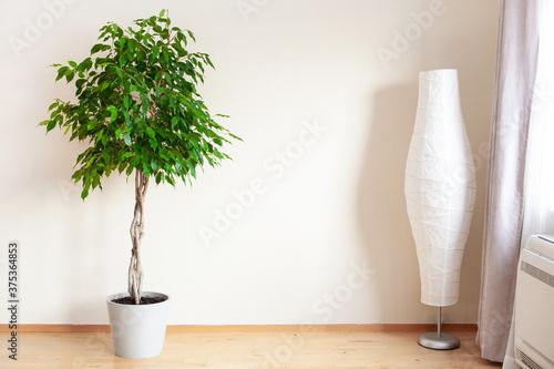 Vászonkép ficus benjamina large green houseplant with long braided stem