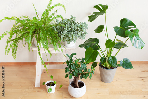 houseplants fittonia, monstera, nephrolepis and ficus microcarpa ginseng in whit Wallpaper Mural