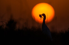 Cattle Egret With Preyed Frog  In Sunset Light And Bokeh