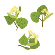 Linden Inflorescences. Tilia Europaea, Common Lime Or Common Linden. Branches With Yellow Small Flowers And Heart-shaped Leaves. Vector Illustration