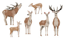 Collection Red Deer Isolated On White Background. Females, Males With Branched Horns And Pups With Spots. Noble Deer. Vector Illustration
