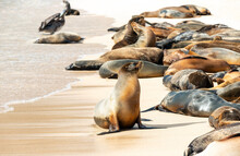 A Colony Of Galapagos Sea Lion...