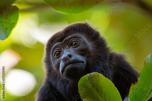 Mantled Howler Monkey in a tree Canvas Print