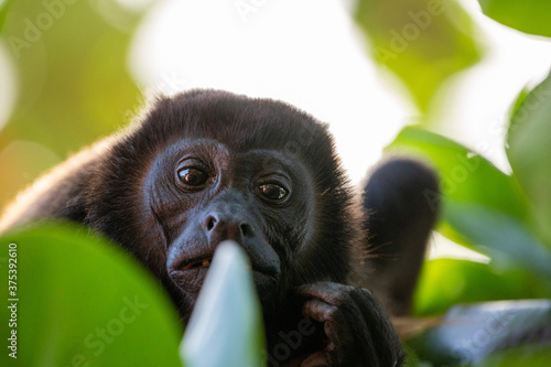 Canvas Print Mantled Howler Monkey in a tree