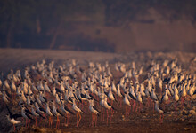 Black Winged Stilt Flock And One Bird In Wildlife Reserves Of Wetlands Of Pakistan