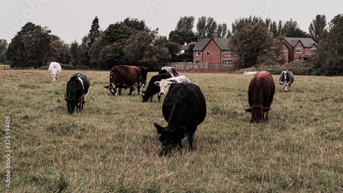 Cows graze on the farm Wallpaper Mural