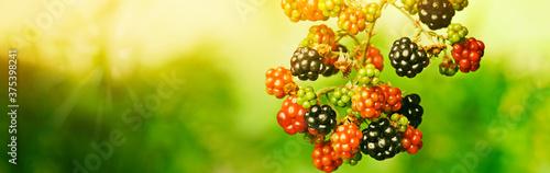 Fotografie, Obraz Ripening blackberries on branch against blurred background, closeup