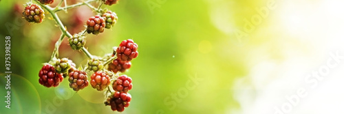Ripening blackberries on branch against blurred background, closeup Tapéta, Fotótapéta