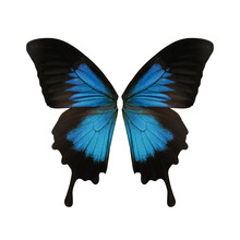 Beautiful Ulysses Butterfly Wings On White Background