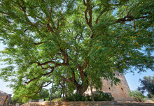 The Rosewood Tipuana Tipu Tree Growing By The Kolossi Castle.  Kolossi. Limassol District. Cyprus