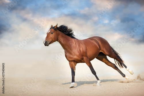 Fototapeta Bay stallion run gallop in desert obraz