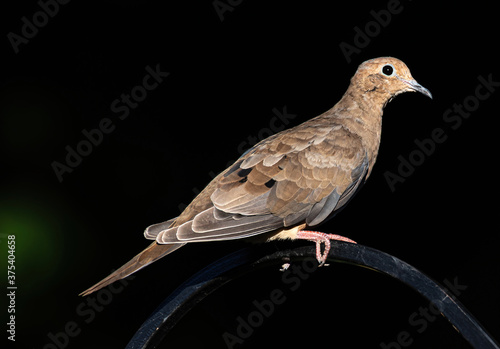 Photo A mourning dove perched on a shepherd's hook in the garden.