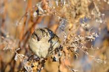 Sparrow In Autumn Foliage