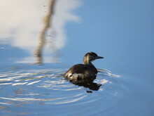 Duck Swimming Away On The Clea...