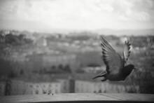 Pigeon's Flight Above The City