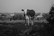 Hereford cow stands in rural Texas landscape, rustic black and white farm scene.