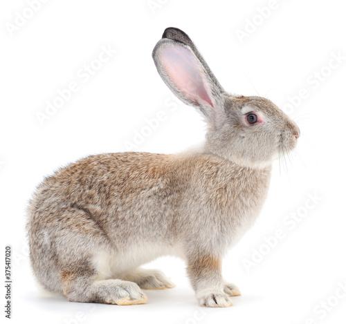Vászonkép Gray rabbit isolated.