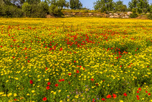 A Carpet Of Red Poppies And Yellow Daisies Found Karpass Peninsula, Northern Cyprus