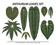 Vintage Vector Botanical Illustration, Tropical Exotic Plant, Jungle Foliage, Anthurium Leaves Set Isolated On White Background.