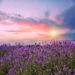 Fototapeta Do sypialni Amazing lavender field at sunset, closeup view