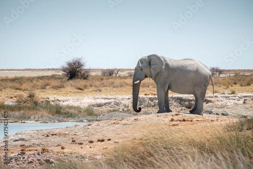 wild elephant near waterhole