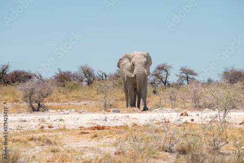 wild elephant in desert