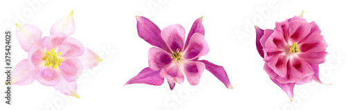 Buds of different shapes flower of a common columbine or aquilegia vulgaris on a white background, isolate Canvas Print