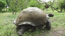 Giant Tortoise Slowly Walking Through Green Grass Covered In Mud On Santa Cruz Island, Galapagos