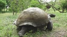 Giant Tortoise Slowly Walking ...