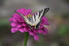 Farfalla Iphiclides Podalirius Su Fiori Di Zinnia