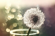 White fluffy dandelion on a blurred background with bokeh.