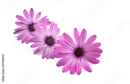 Pink Osteospermum Daisy or Cape Daisy Flower Flower Tapéta, Fotótapéta