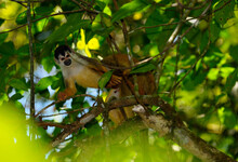 Two Male Squirrel Monkeys Copu...