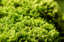 Fresh Green Moss On A Stone In A Forest. Small, Non-vascular Flowerless Plants That Typically Form Dense Green Clumps Or Mats, Often In Damp Or Shady Locations. Bryophyta. Close-up Macro Photo.