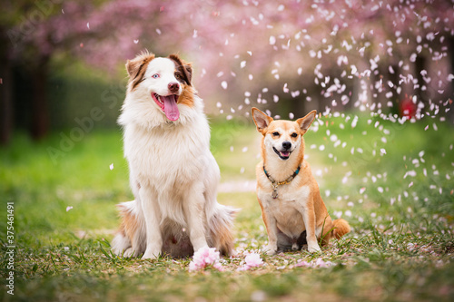 Leinwand Poster Zwei Hunde im Park mit Kirschblüten