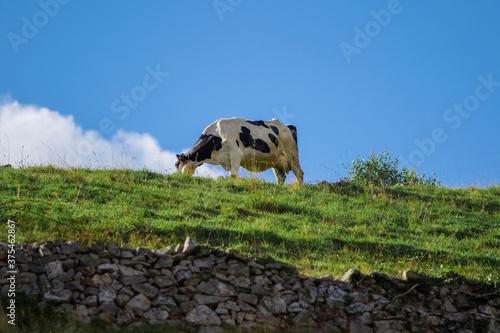 Vaca frisona pastando Canvas Print