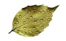 Golden Leaf In Water Drops Iso...