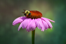 Bumble Bee Pollinating Purple Coneflower With Soft Blurry Background, Close Up,