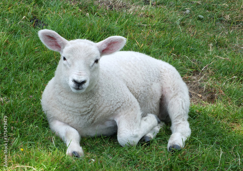 close up of a young spring lamb sitting in a field Wallpaper Mural