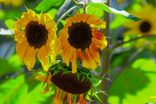 Droopy Sunflowers At Summer's ...
