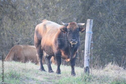 mirada de toro tras la valla en día de verano Wallpaper Mural