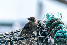 Starling Female Bird Sitting On Top Of Crab Trap Cages In Piles, Cages Used To Catch Large Numbers Of Crabs, Little Bird Looking For Food, Starling Sitting By The Big Blue Rope On Lobster Pod