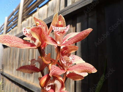 Fototapeta Red orchid with fence background