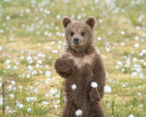 Brown bear cub (Ursus arctos) standing on its hind legs in the middle of the cot Fototapet