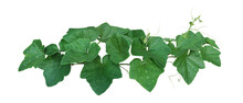 Pumpkin Leaves Vine Plant Stem And Tendrils Isolated On White Background, Clipping Path Included..