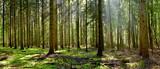 Fototapeta Las - Coniferous forest in the light of the morning sun