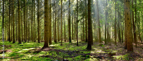Fotografía Coniferous forest in the light of the morning sun