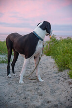 Great Dane At Beach With Sunrise