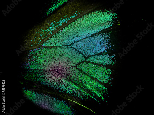 Trogonoptera brookiana - Rajah Brooke Birdwings- tropical buttelfly - detail Wallpaper Mural
