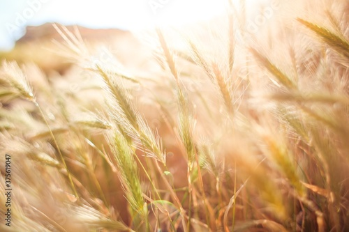 wheat field in summer, Field of wheat grain. Agricultural fields. Canvas
